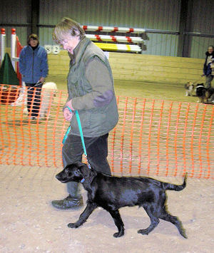 Flat Coated Retriever in the Intake Class