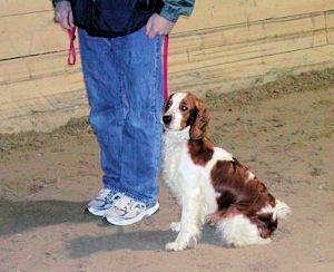 Welsh Springer in the Foundation Class